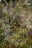 在她的万维网的蜘蛛 库存照片