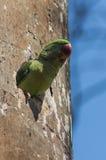 在她的巢的亚历山大诗行长尾小鹦鹉 库存图片