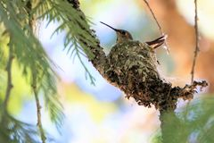 在她的巢的蜂鸟接近的开会在塞浦路斯 图库摄影