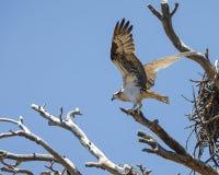 在她的巢附近被栖息的白鹭的羽毛 库存照片