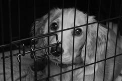 在她的条板箱的猎犬小狗 免版税图库摄影