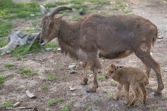 在她的母亲旁边的逗人喜爱的小山羊 库存照片