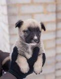 在她的胳膊的小狗 免版税库存图片