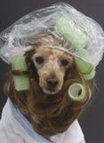 在她的绿色卷发的人和浴帽的深色的长卷毛狗 库存图片