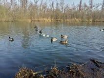 在好天气到来鸭子和鸟获得在河的乐趣 库存图片