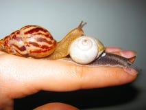 在妇女关闭的手上的两只一点蜗牛 免版税库存图片