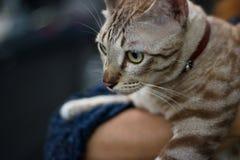在妇女容忍的布朗亚洲猫在晚上背景中 库存照片