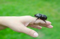在妇女手上的金龟子甲虫 库存照片