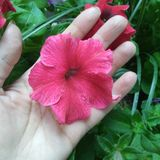 在妇女手的棕榈的桃红色喇叭花 免版税库存照片