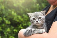 在妇女拥抱的逗人喜爱的苏格兰小猫 免版税库存图片