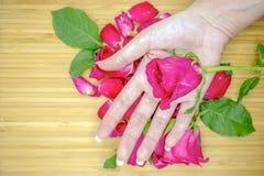在妇女的手上的桃红色玫瑰 库存图片