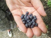 在妇女的手上的蓝莓 免版税库存图片