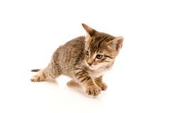 在妇女的现有量的可爱的幼小猫 免版税库存图片