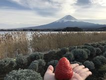 在妇女` s手上的大红色草莓有清楚的好的富士山的 免版税库存图片