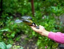 在妇女` s手上的小北美山雀 库存照片