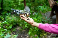 在妇女` s手上的小北美山雀 库存图片