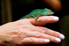 在妇女` s手指的微小的变色蜥蜴 免版税库存图片
