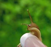 在妇女` s钉子的蜗牛 免版税库存照片
