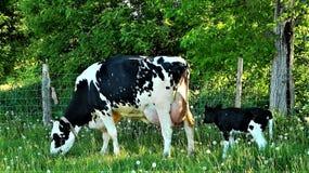在妈妈之后的新出生的黑白花牛小牛 免版税库存图片