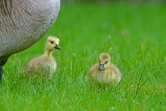 在妈妈` s下的两只婴孩加拿大鹅关心 免版税库存照片
