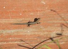 在委员会的小的棕色蜥蜴 图库摄影