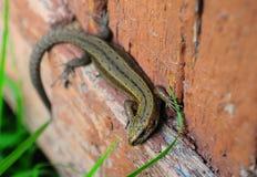 在委员会的蜥蜴,夏天 库存照片