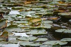 在威严的热的lilypads用黑暗的水 免版税库存照片