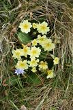 在威尔士海岸线的报春花 免版税库存图片