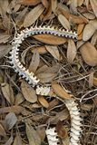 在威尔士湖里奇状态森林的蛇骨骼在波尔克县,佛罗里达 库存照片