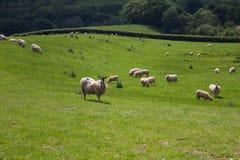 在威尔士领域的绵羊 免版税库存图片