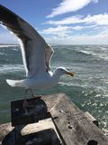 在威尼斯海滩码头的海鸥 图库摄影