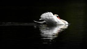 在威胁姿势的公疣鼻天鹅在黑暗的水 免版税图库摄影