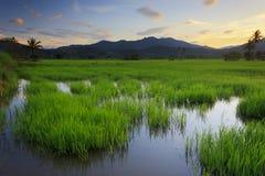 在婆罗洲,沙巴,马来西亚的稻田 免版税库存图片