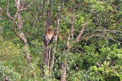 在婆罗洲的雨林的长鼻猴 免版税库存照片