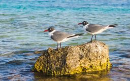 在婴孩海滩,阿鲁巴的安静的鸟 免版税图库摄影