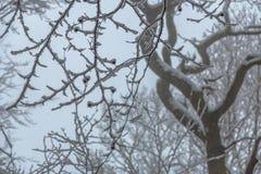 在嫩分支的降雪平衡 免版税库存照片