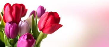 在嫩桃红色背景的美丽的五颜六色的郁金香 库存图片
