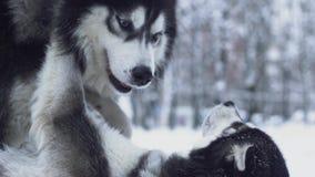 在嬉戏的奋斗过程中,被克服别的一名西伯利亚爱斯基摩人在冬天雪森林狗背景  影视素材