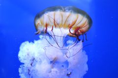 在孑然的自由水母 免版税库存图片
