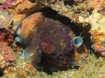 在孔的一个章鱼 库存图片