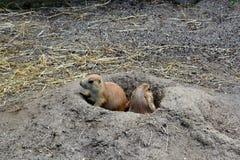 在孔的两只草原土拨鼠 免版税库存照片