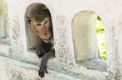 在孔的小猴子 图库摄影