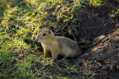 在孔的草原土拨鼠 免版税库存图片