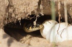 在孔的蛇鸡蛋 免版税库存图片