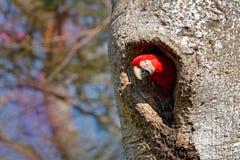 在孔的鸟 行动野生生物场面自然 大红色鹦鹉,从巢孔的飞行 红和绿的金刚鹦鹉, Ara chloroptera,在黑暗 免版税图库摄影