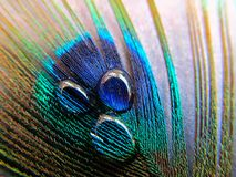 在孔雀羽毛的水滴 库存图片