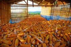 在存贮的干玉米 免版税库存图片