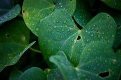 在季风期间,浇灌在叶子的下落 库存照片