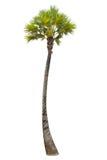 在孤立白色背景的棕榈树 免版税图库摄影