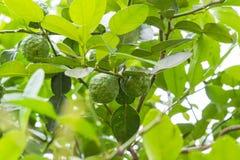 在孤立的佛手柑树 库存照片